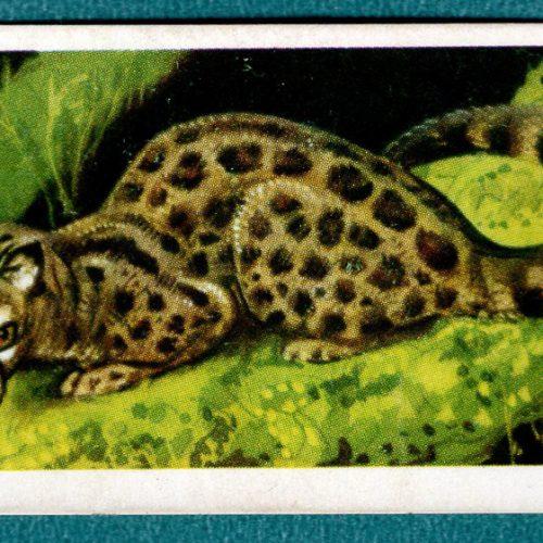 Genet #14 African Wild